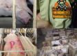 Humane Society Investigation At Wyoming Premium Farms Raises Livestock Welfare Concerns (GRAPHIC CONTENT)