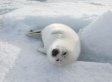 Canadian Politicians, Wake Up and End the Seal Slaughter