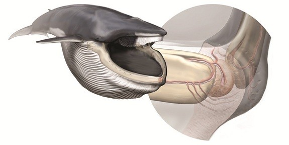 whale organ