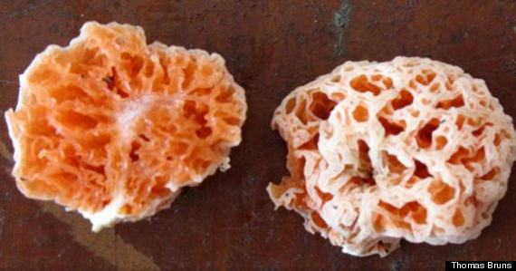 spongebob fungus