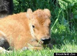 PHOTOS: Brookfield Zoo Welcomes Adorable New Baby