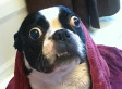 World's Largest Dog Eyes: Bruschi The Boston Terrier Eyeballs World Record