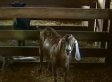 Kidwell Barn Farm Animals Attacked, Cut With Unknown Weapon In Virginia