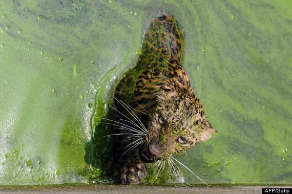 leopard water