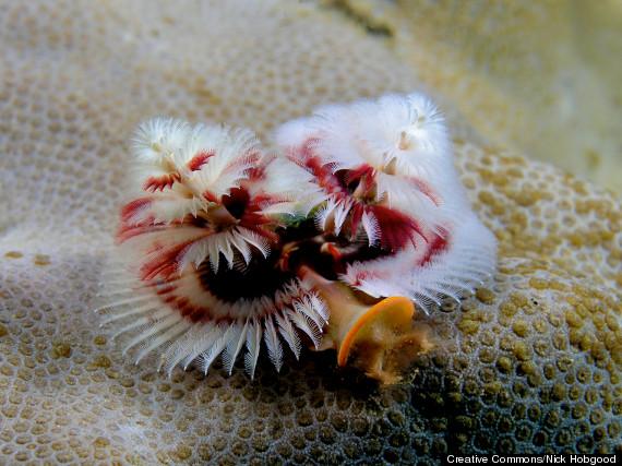 spirobranchus_giganteus
