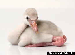 LOOK: Adorable Baby Flamingo Will Steal Your Heart