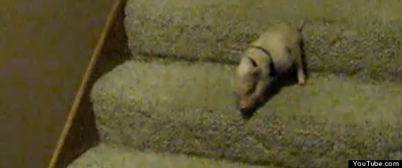 PIGLET STAIRS