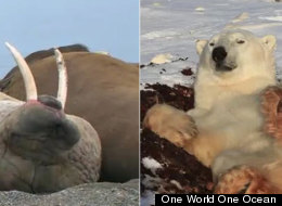 Lazy Walrus Polar Bear Video