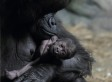 Gorilla Baby Talk Is All About The Gestures, Researchers Say (VIDEO)