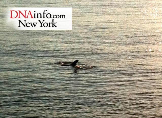 dolphin nyc