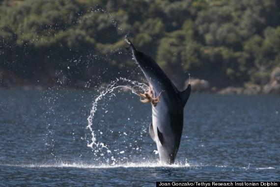 dolphin octopus genitals