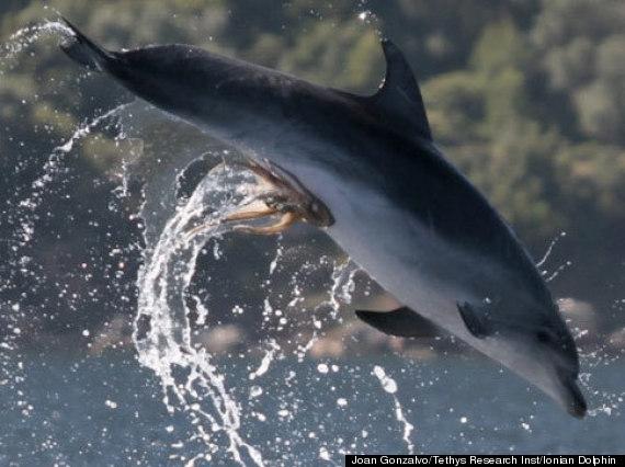 dolphin octopus