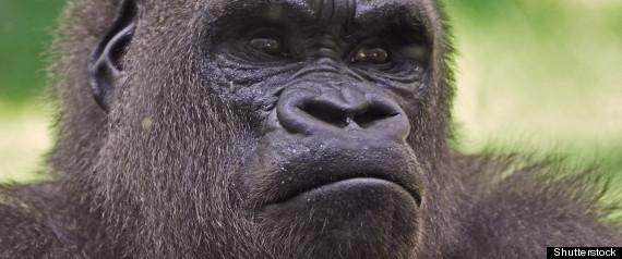 gorilla sound