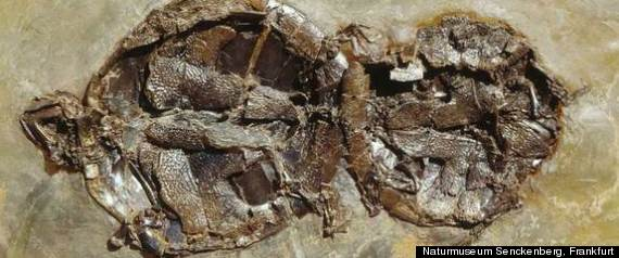 Turtle Sex Fossil