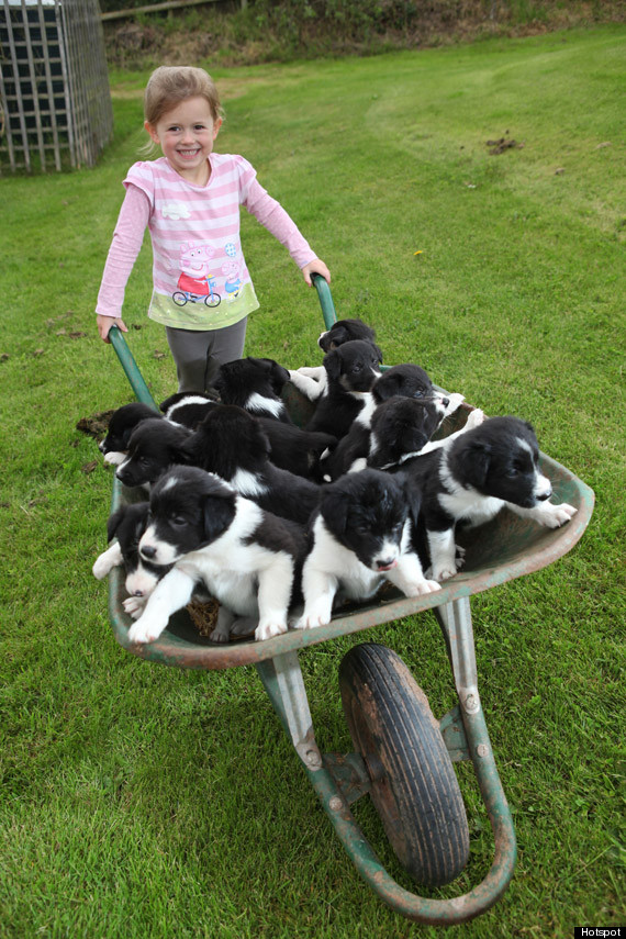 picture of the day a wheelbarrow full of puppies photo