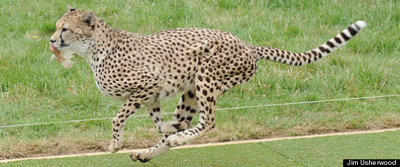 Cheetah Speed