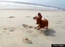 Dog Plays With Crab