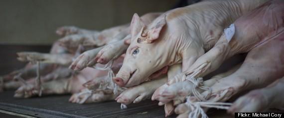 PIG BUTCHER ILLEGAL
