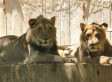 African Lions Baruti And Aslan Leaving National Zoo (PHOTOS)