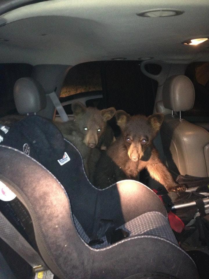 bears break into car