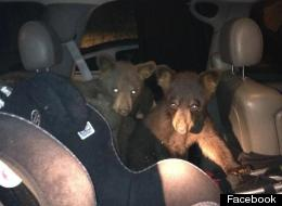 Bears Break Into Car