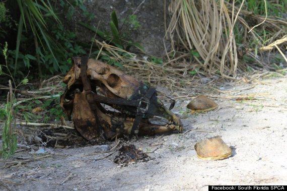 mutilated horse found west miamidade spca