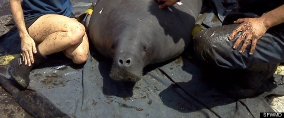 FLORIDA MANATEE EVERGLADES RESCUED