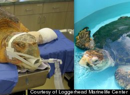 Kahuna The Sea Turtle