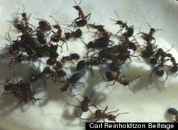 Live Ants Yogurt