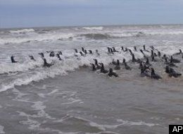 Brazil Penguins Released