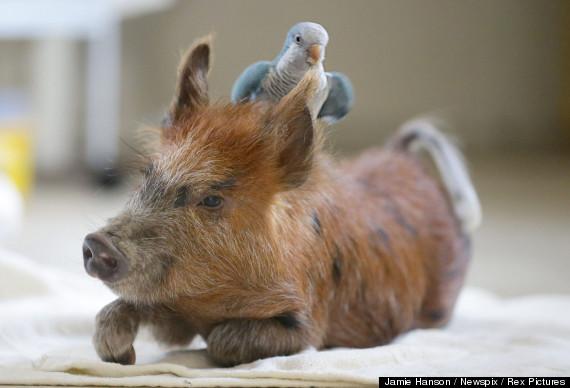 pig parrot