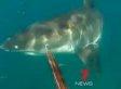 Great White Shark Off Australian Coast Threatens Divers (VIDEO)