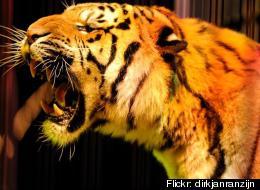 Circus Tiger Pees
