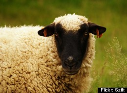 WOOL YOU BE CALLING? South African Sheepherder Gives Cellphones To Flock