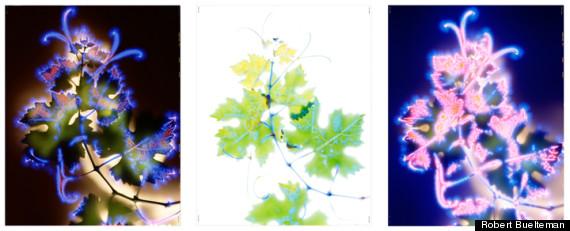 vitus vinifera triptych