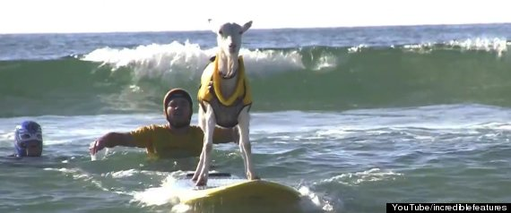 Surfing Animals