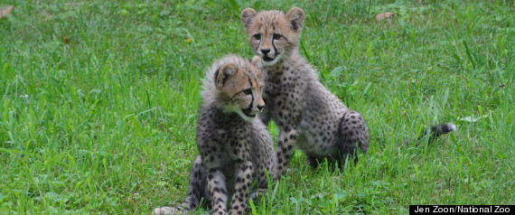NEW CHEETAH CUBS