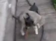 Tiny Dog Carries Cat In Russia (VIDEO)