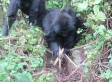 Gorillas Seen Destroying Poachers' Snares In Rwanda