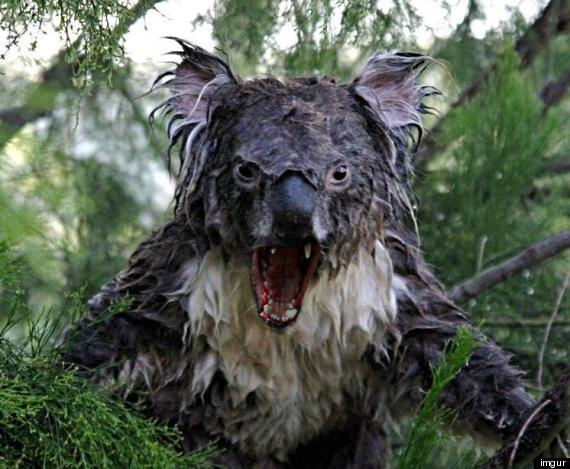 o-WET-KOALA-PHOTOSHOP-570.jpg?4