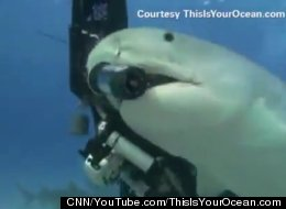 Tiger Shark Steals Camera