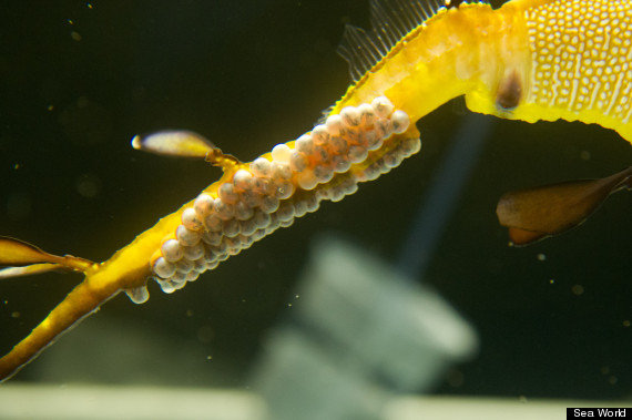weedy sea dragon babies
