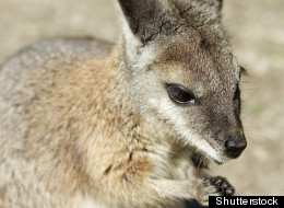 Missing Wallaby