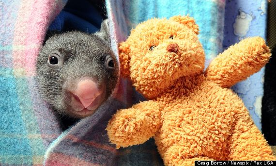 baby wombat pictures photos caddy