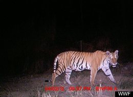 Bardia National Park Tigers