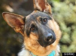 Adopt A German Shepherd San Francisco