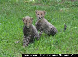 National Zoo Cheetah Cubs