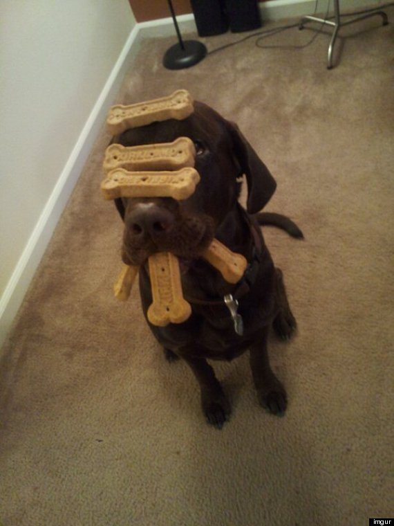 Virtues Of Restraint >> Crembo The Chocolate Lab Balances Treats, Is One Patient Dog (PHOTO)   HuffPost