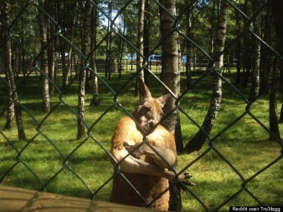 kangaroo gangster