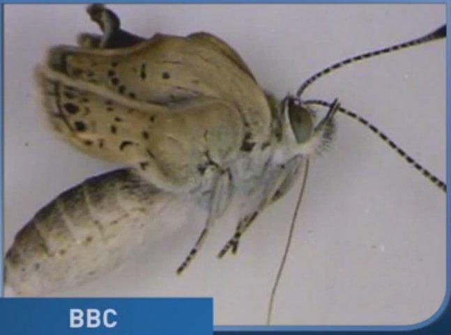 fukushima mutant butterflies